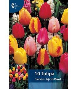 Tulp Darwin Hybrid Gemengd
