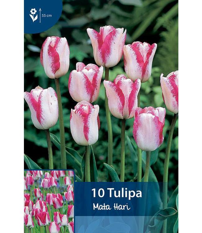 Tulip Mata Hari