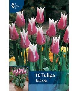 Tulip Ballade