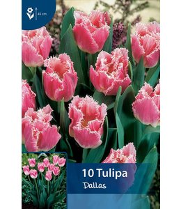 Tulp Dallas