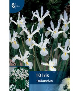 Iris Hollandica White