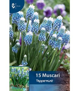 Muscari Peppermint