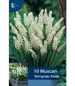 Muscari Botryoides Album