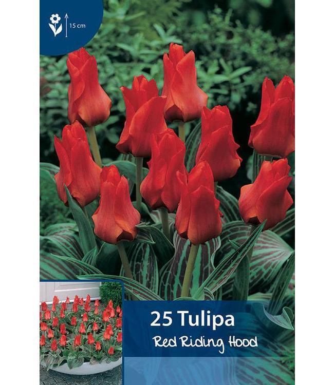 Tulpen Red Riding Hood (Rotkäppchen)