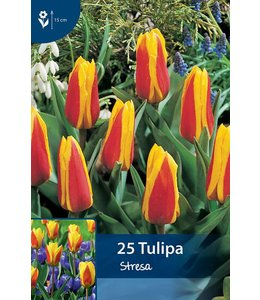 Tulpen Stresa