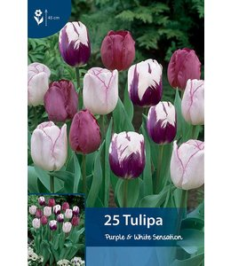 Tulp Purple & White Sensation