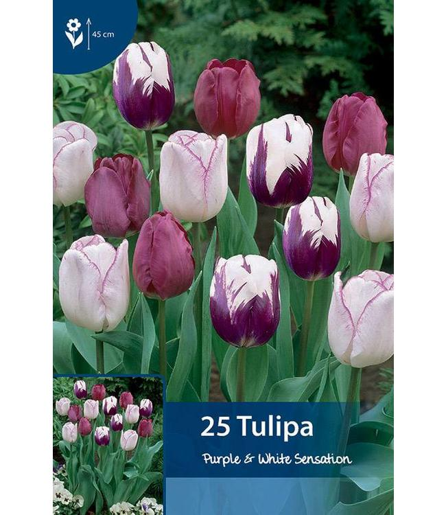 Tulpen Purple & White Sensation