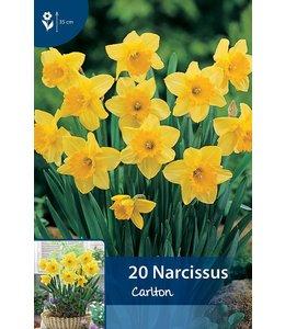 Narcissus Carlton