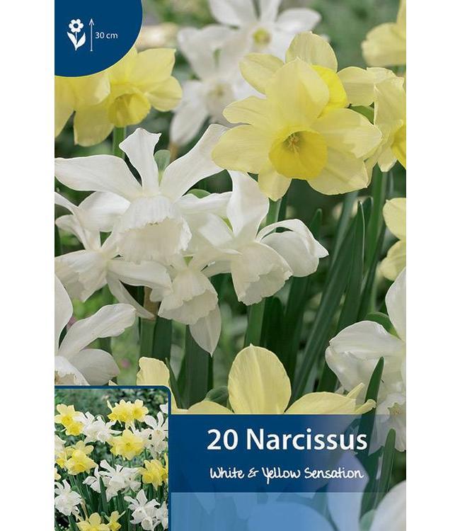 Narcis White & Yellow Sensation