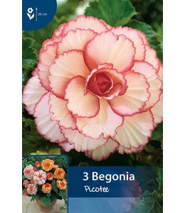Begonia Picotee Rood/Wit