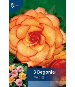 Begonia Picotee Rot/Gelb