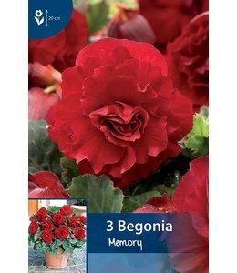 Begonia Gefüllte Rot