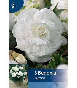 Begonia Gefüllte Weiß