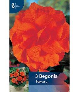Begonia Gefüllte Orange