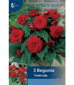 Begonia Fimbriata Red
