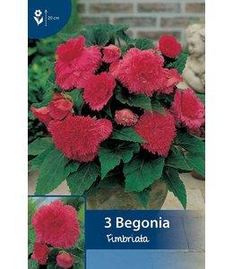 Begonia Fimbriata Pink