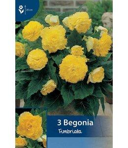 Begonia Fimbriata Geel