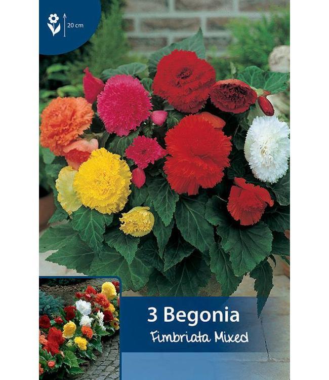 Begonia Fimbriata Gemengd