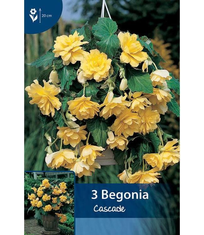 Begonia Cascade Gelb