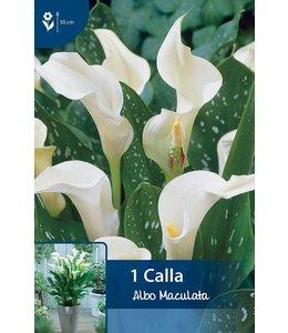 Calla Albo Maculata (Zantedeschia)