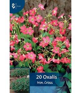 Oxalis Iron Cross (Glücksklee)
