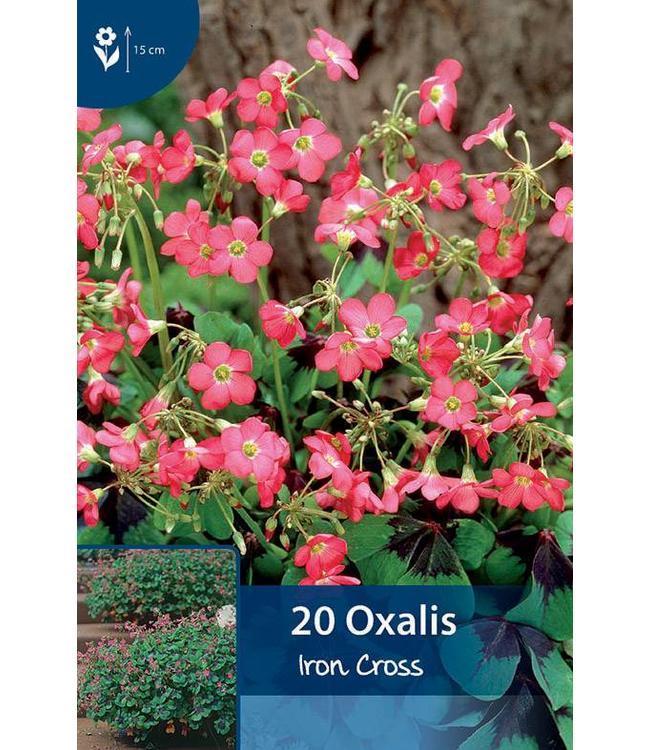 Oxalis Iron Cross (Lucky Clover)