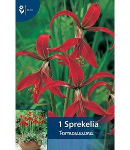 Sprekelia Formosissima (Amaryllis)