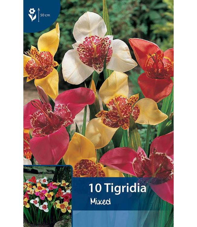 Tigridia Mixed (tiger flower)