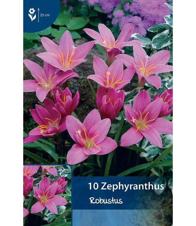 Zephyranthes Robustus (Habranthus)