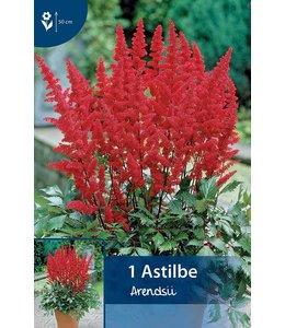 Astilbe Rot