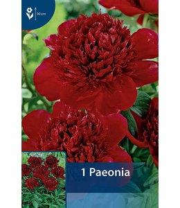 Paeonia Rot (Pfingstrose)