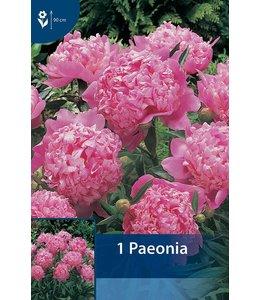 Paeonia Rosa (Pfingstrose)