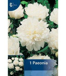 Paeonia Weiß (Pfingstrose)