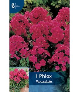 Phlox Paniculata Rot