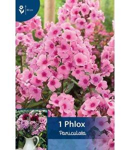 Phlox Paniculata Roze