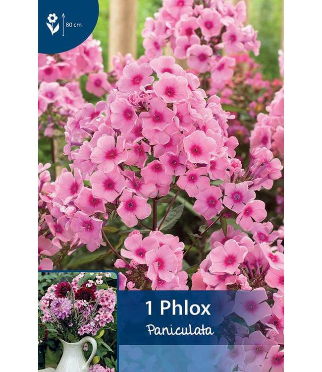 Phlox Paniculata Rosa