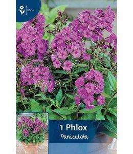 Phlox Paniculata Purpur