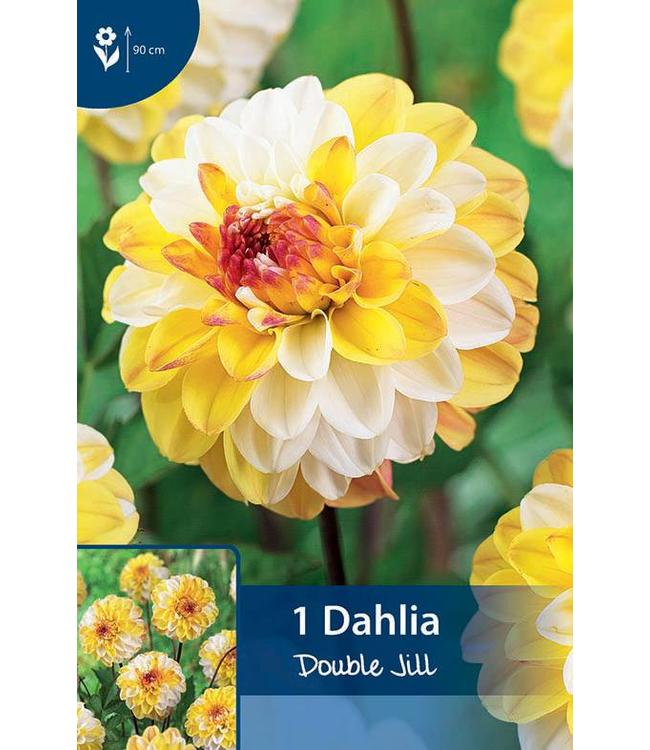 Dahlia Double Jill