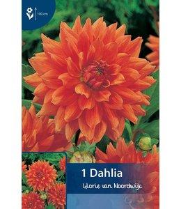 Dahlia Glory of Noordwijk