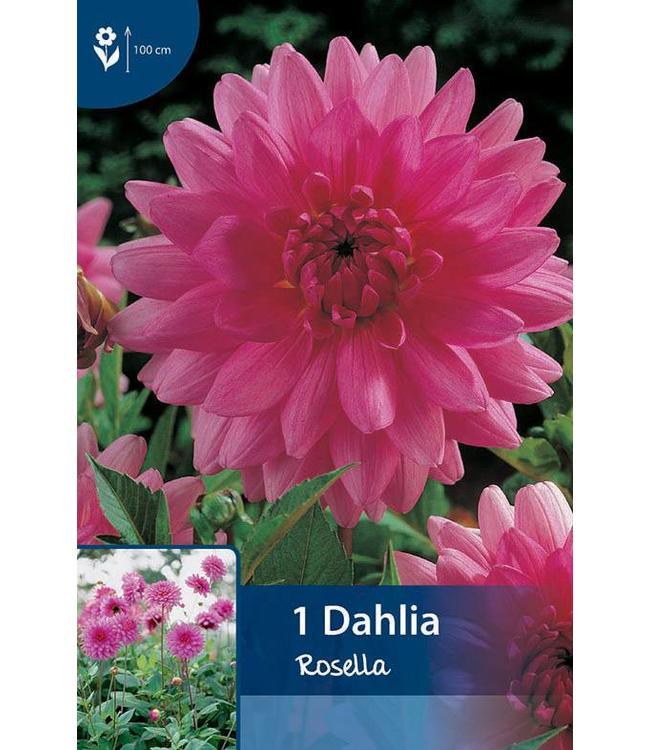 Dahlia Rosella