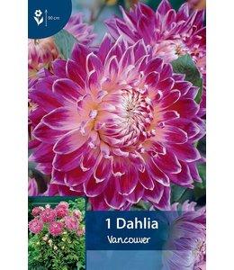 Dahlia Vancouver