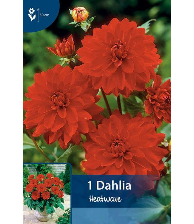 Dahlia Heatwave