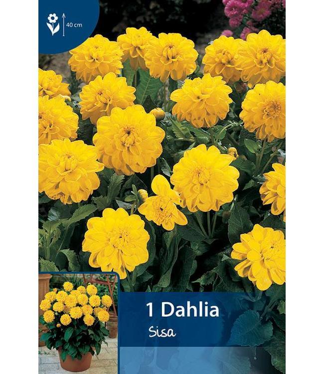 Dahlia Sisa