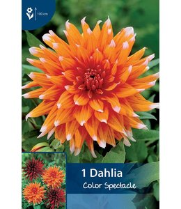 Dahlia Color Spectacle