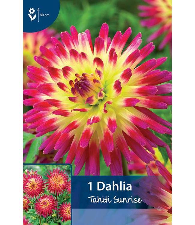 Dahlia Tahiti Sunrise