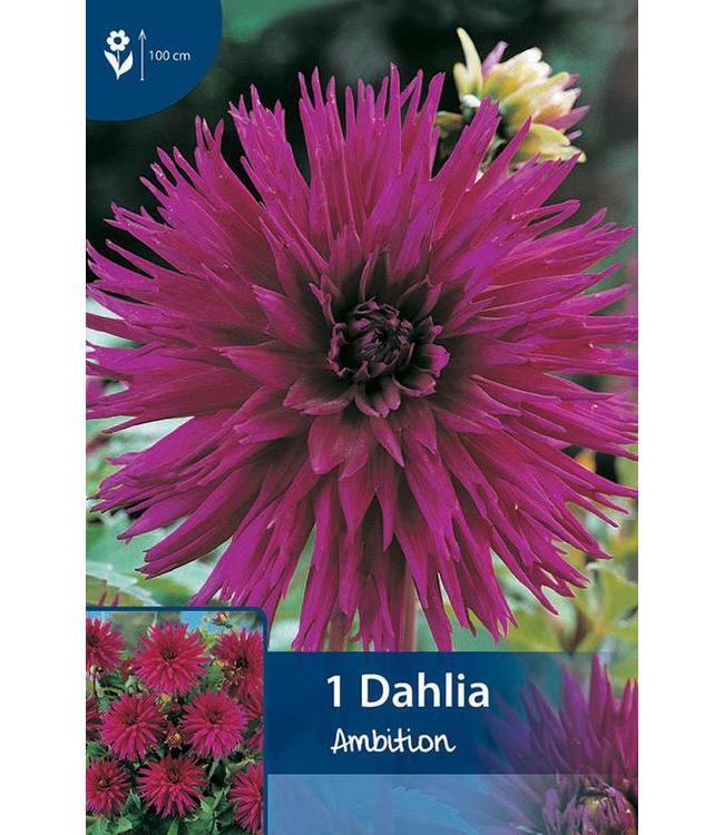 Dahlia Ambition