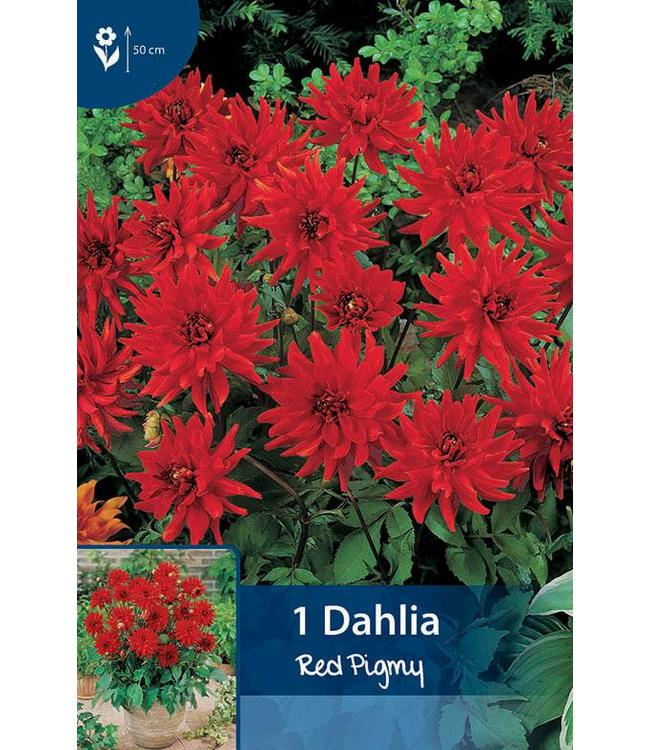 Dahlia Red Pigmy