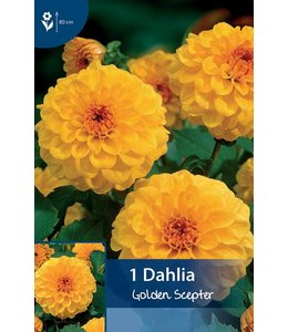 Dahlia Golden Scepter