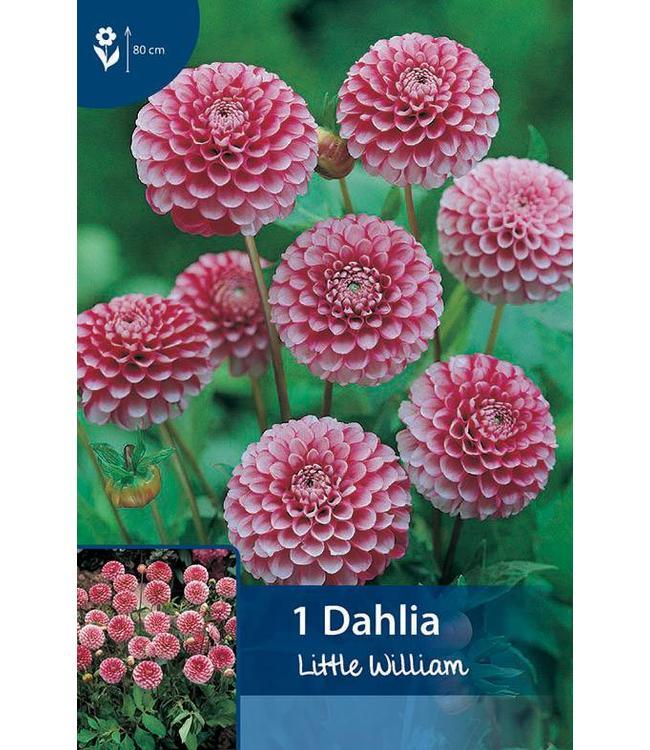 Dahlia Little William