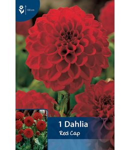 Dahlia Red Cap